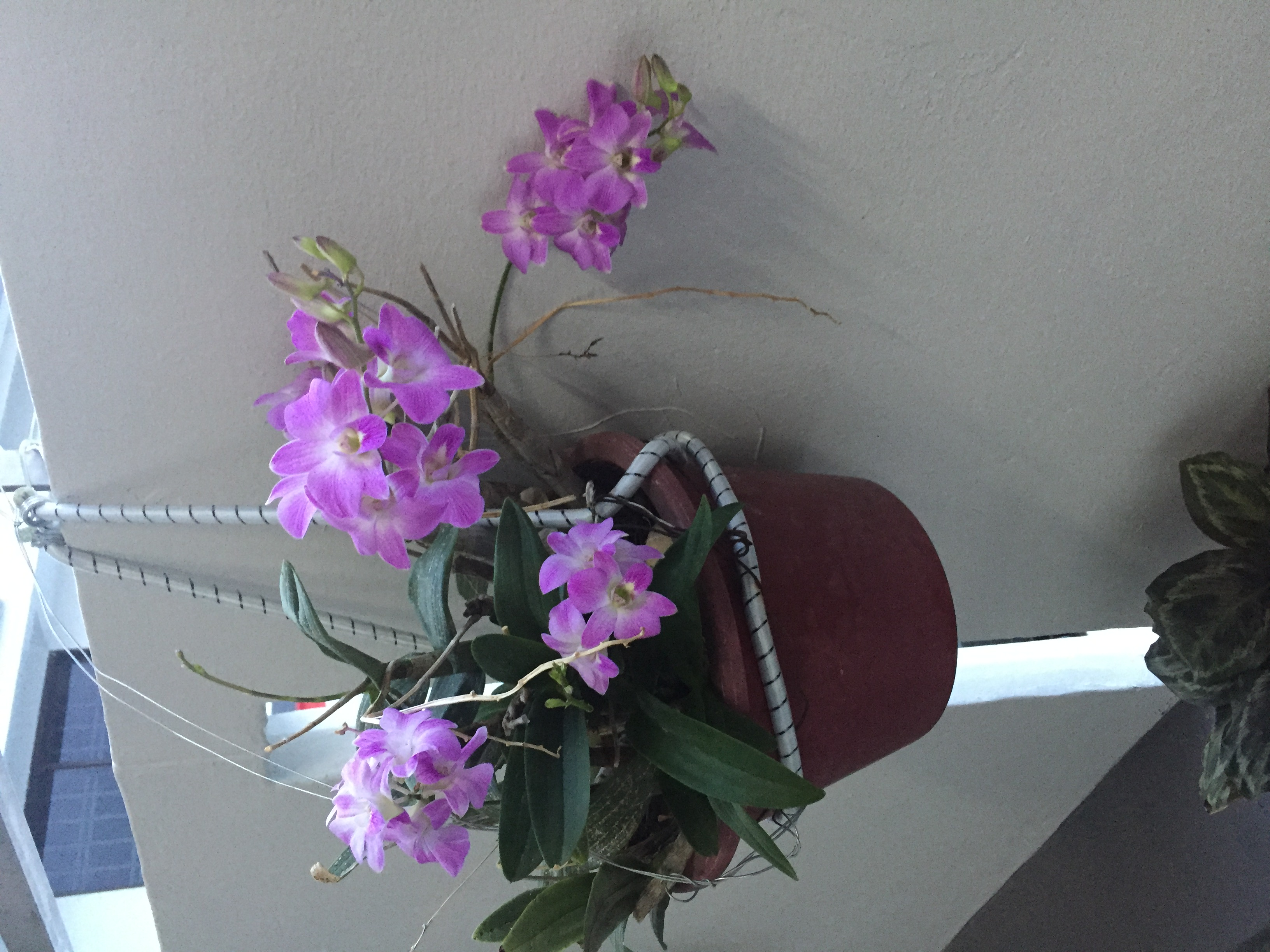 Trees , plants , Orchids and Flowers at my HDB Flat in Singapore , by Prof Dr Chan Junt Hoong FIET FIEEE BEng CEng .